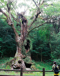 The great Takeo Camphor Tree